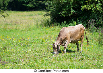 cattle cow grazing on countryside fresh green meadow