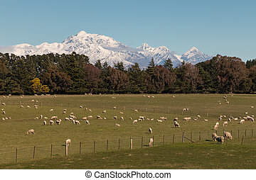 flock of grazing merino sheep - flock of sheep grazing in...