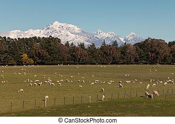 flock of grazing merino sheep