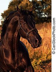emotion portrait of beautiful black breed stallion in field