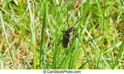 Great capricorn beetle (Cerambyx cerdo) get out of grass