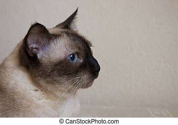 Siamese Cat Looking Forward of the Right Side on Studio