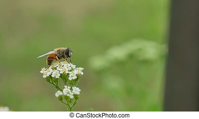gadfly bee sitting on flower on a green background nature...