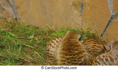 Meerkat family plays at the Novosibirsk ZOO