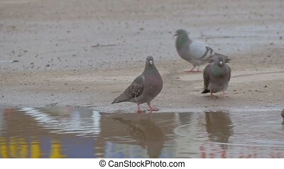pigeons in a pool of slow motion video - Pigeons bathe in a...