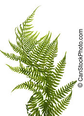 fern close up - object on white - decorative fern close up