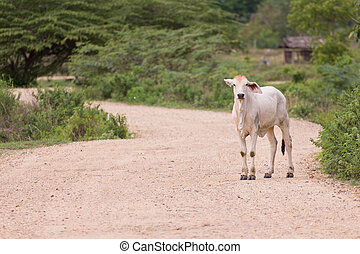 Young cow, Thai calf on road countryside