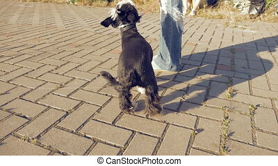 Girl walking with little funny dog in the park - Young woman...