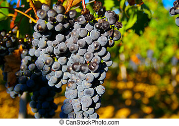 Closeup of wine grapes on the vine