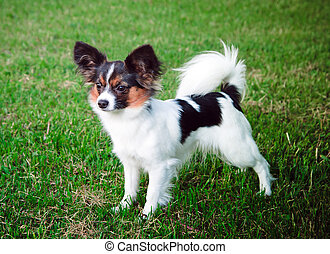 Papillon dog - Dog of breed papillon on a green grass