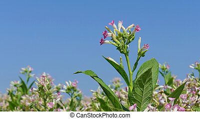 Tobacco plant flowers - Blossoming tobacco plants in field...