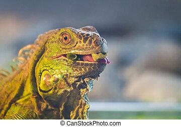 Hungry Iguana - A hungry green iguana enjoys a vegetarian...