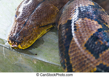 Python - A giant python staring intently while waiting for...