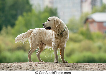 retriever in pond - wet retriever running near the pond to...