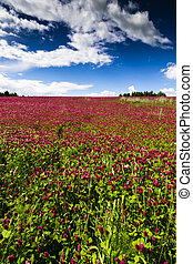 Red Feather - Trifolium Rubens Field with Blue Sky and...