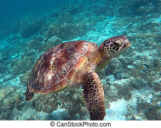Green sea turtle above the coral reef and sea bottom. Sea...