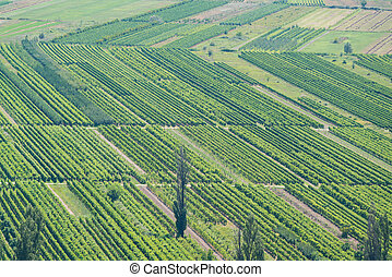 Vineyard in Croatia at the Adriatic coast. - Vineyard in...