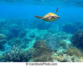 Green sea turtle above the coral reef and sea bottom. Lovely...