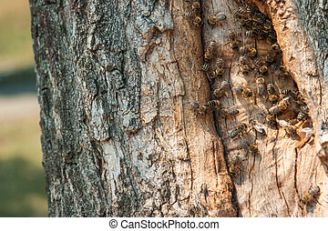 Wild bees have made a hive in a tree in a city park