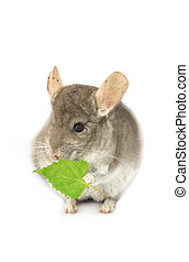chinchilla with a green leaf on a white background