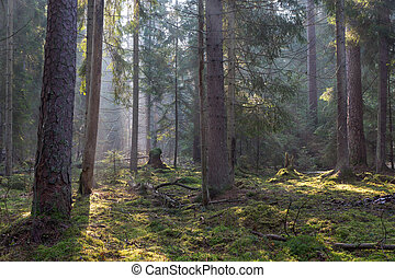 Sunbeam entering coniferous stand of Bialowieza Forest -...