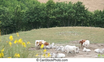 Large herd of white cows grazing in meadows of Italy. Green...