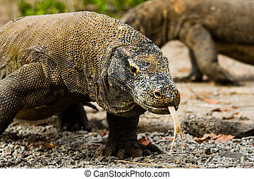 Komodo Dragons Search Food - A pair of Komodo dragons wander...