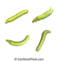 Image of Green Caterpillar on white background