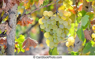 White grape in wineyard - White grape in the wineyard