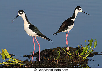 Black-necked Stilts (Himantopus mexicanus) in blue water