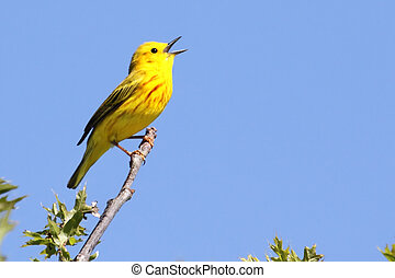 Yellow Warbler (Dendroica petechia) Singing - Yellow Warbler...