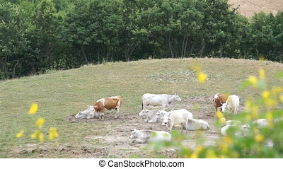 Large herd of white cows grazing in meadows of Italy.