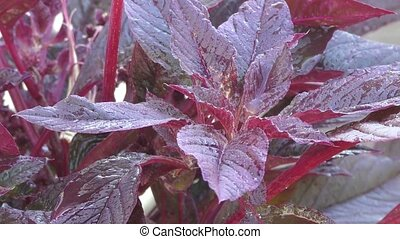 Amaranth blossoms in summer day - Fruit amaranth are widely...