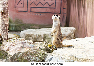 Cute funny meerkat standing on two paws