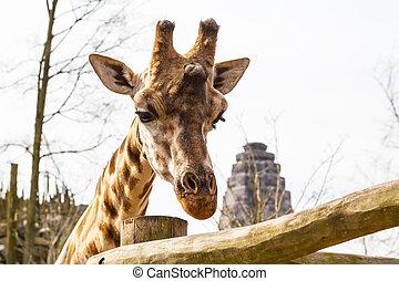 頭, 長頸鹿, 動物, 背景, 悲哀