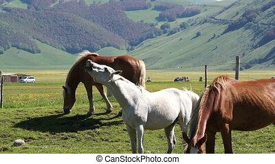 Herd of dark horses graze in meadows of Italy. Green fields...