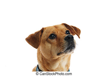 Yellow mixed breed dog - A rescued, mixed breed shelter dog...