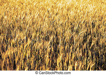 Wheat field. Ears of golden  close up.