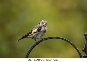 Goldfinch juvenile, perched on a branch in a forest