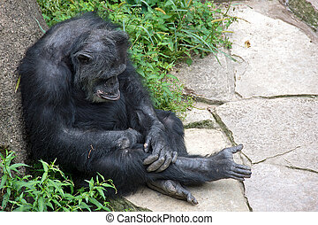 pouting chimpanzee - Chimpanzee with pout leaning on rock in...