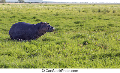 Hippo grazing in the savannah