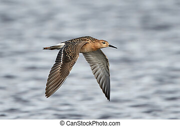 Ruff Philomachus pugnax - Ruff in flight with blue water in...