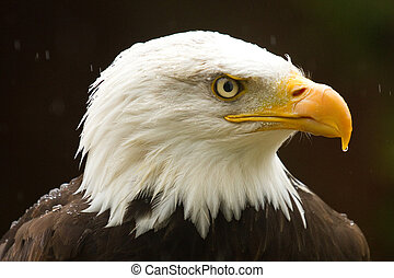 Bald Eagle in the Rain - Bald Eagle in the rain with water...
