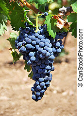 bunch of wine grapes in a vineyard