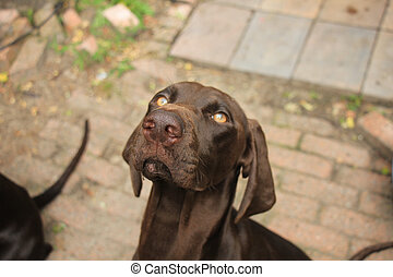 German Shorthaired Pointer female, 11 months old