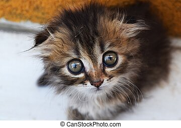 kitten with big eyes - animal kitten with big eyes curiously...