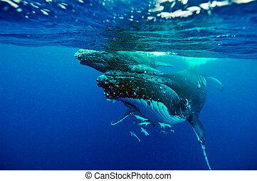 Underwater Marine - Humpback Whale (Megaptera novaeangliae)...