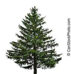 single fir tree - big single fir tree isolated on white...