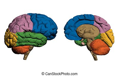 Brains - Vector illustration of a brain The parts are...