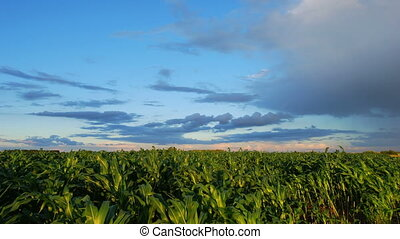 Sunset in corn field - Time lapse shoot of sunset in corn...